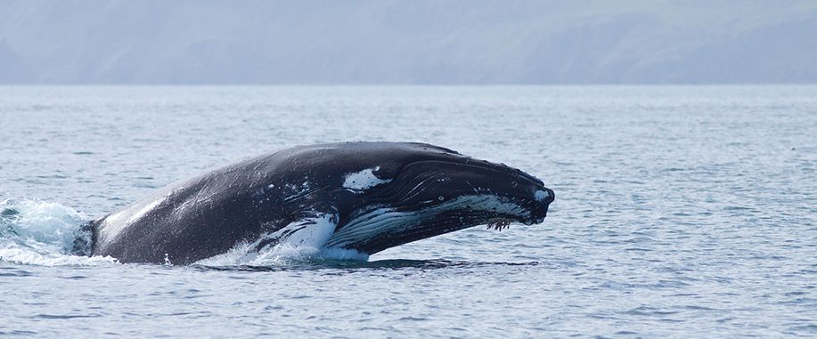 Blue whales in Sri Lanka