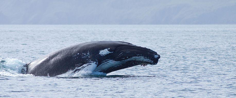 Blue whales in Sri Lanka
